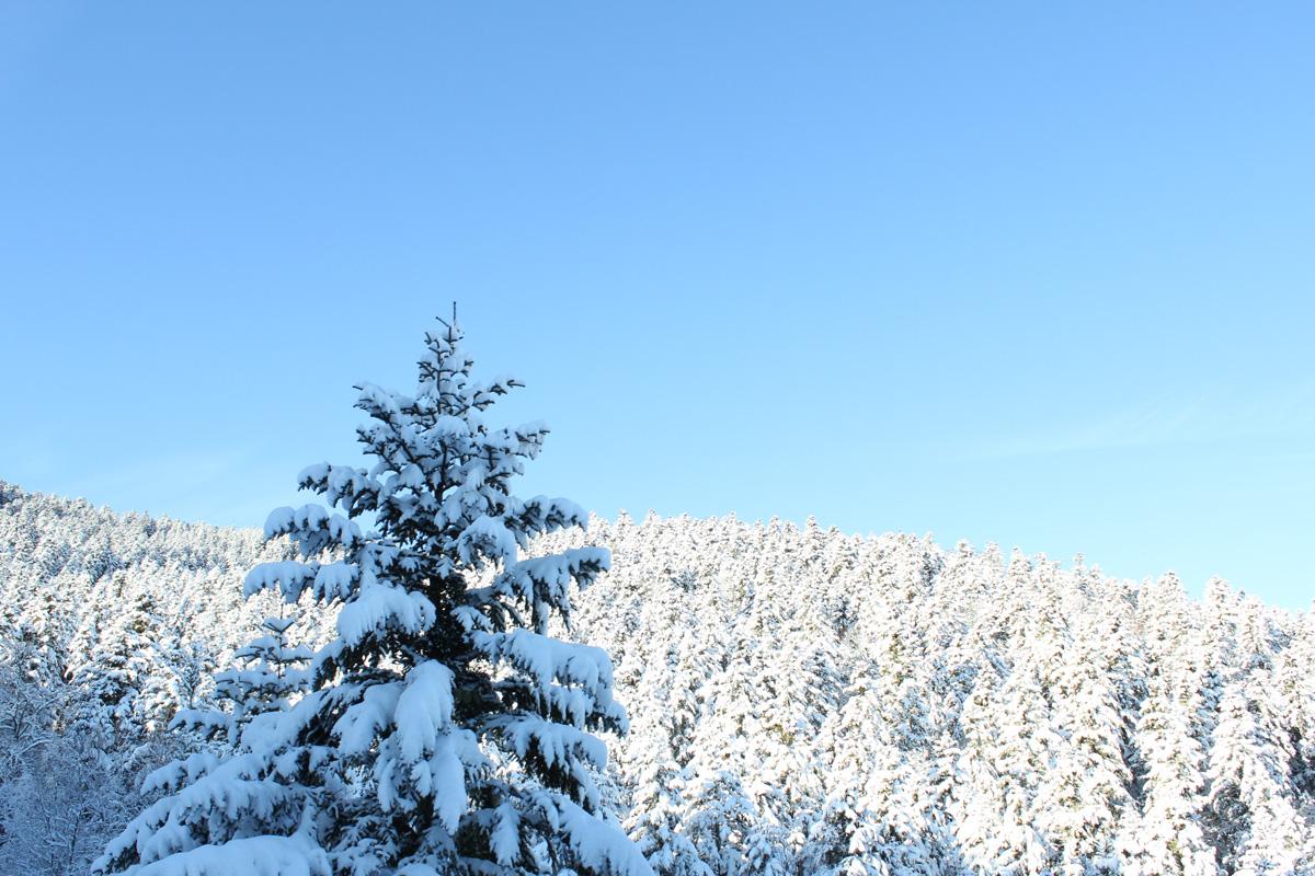 ciel bleu, sapin sous la neige