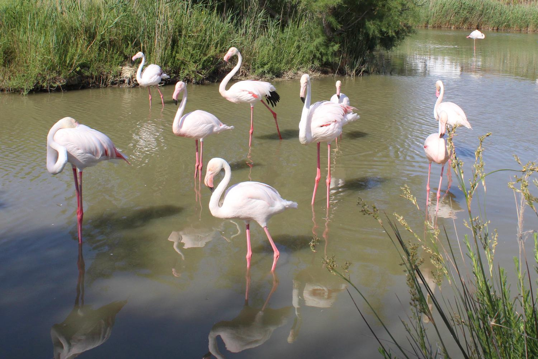 flamingojoli