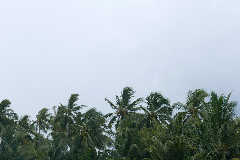 palmiersPluie